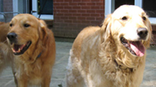 Two golden retrievers in the yard